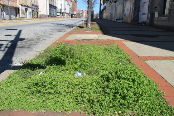"Empty tree pit on Howard Street, filled with ""weeds"" and trash"